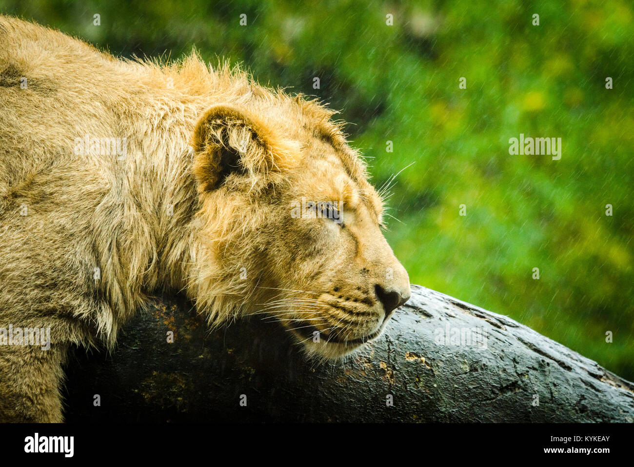 Female lion trying to sleep on a rainy day in the outdoors with raindrops falling on a green background - Stock Image