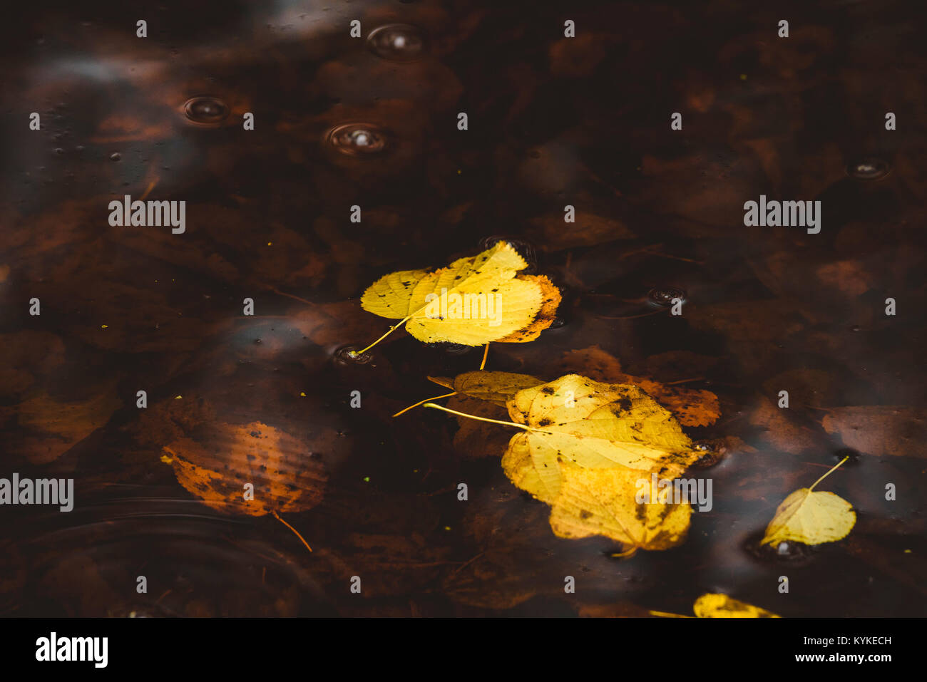 Yellow autumn leaves in the dark water in the fall floating in a puddle - Stock Image