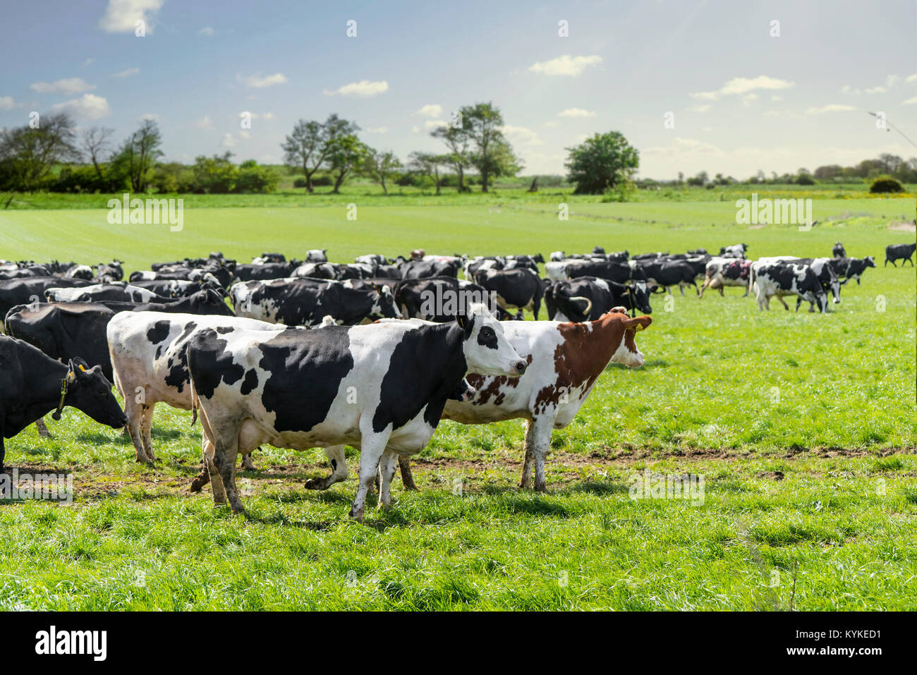 Group of cattle on a green field in the spring enjoying the sun and the fresh green grass - Stock Image