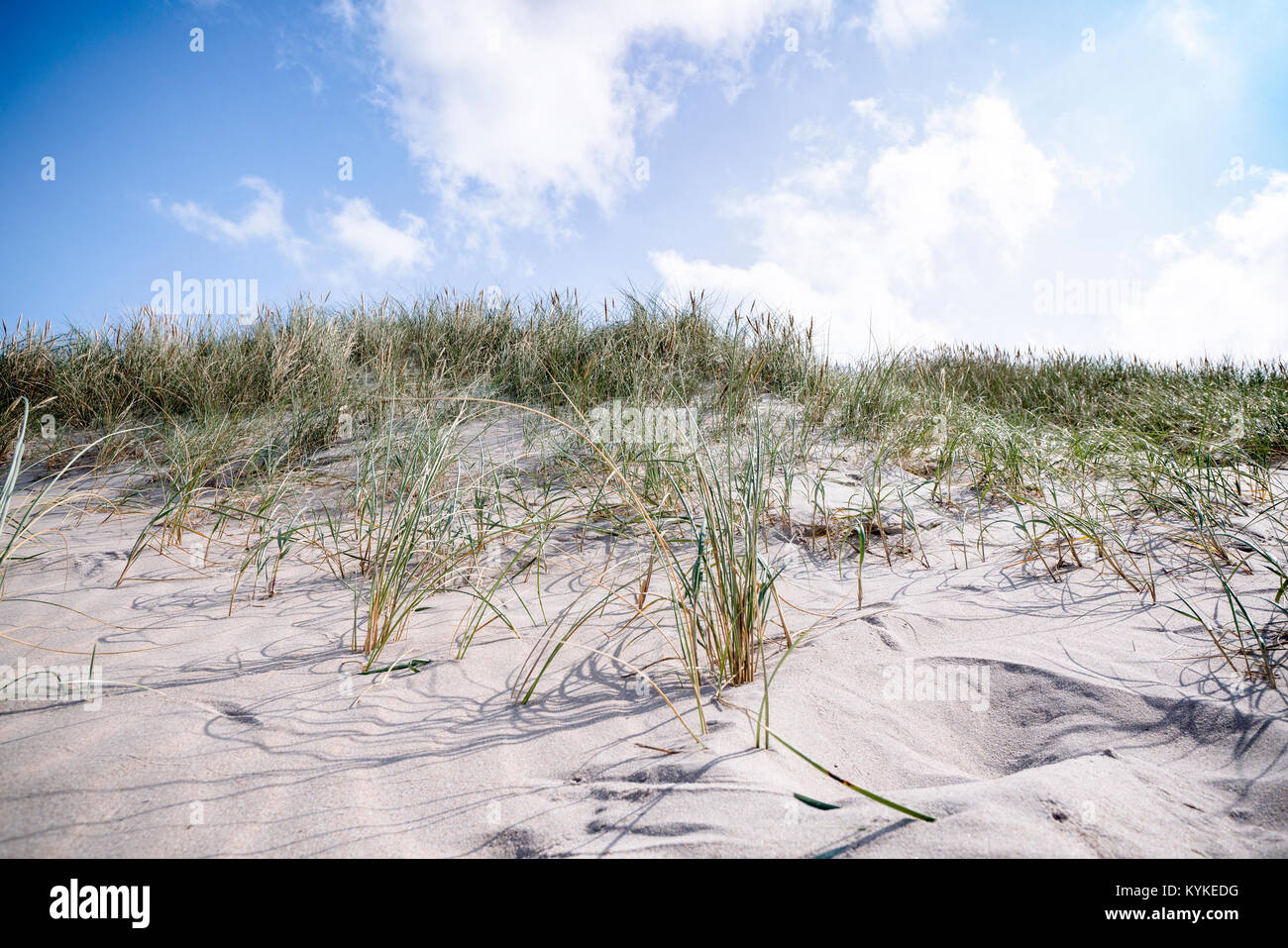 Lyme grass in the sand on a beach dune in danish nature in the summer - Stock Image