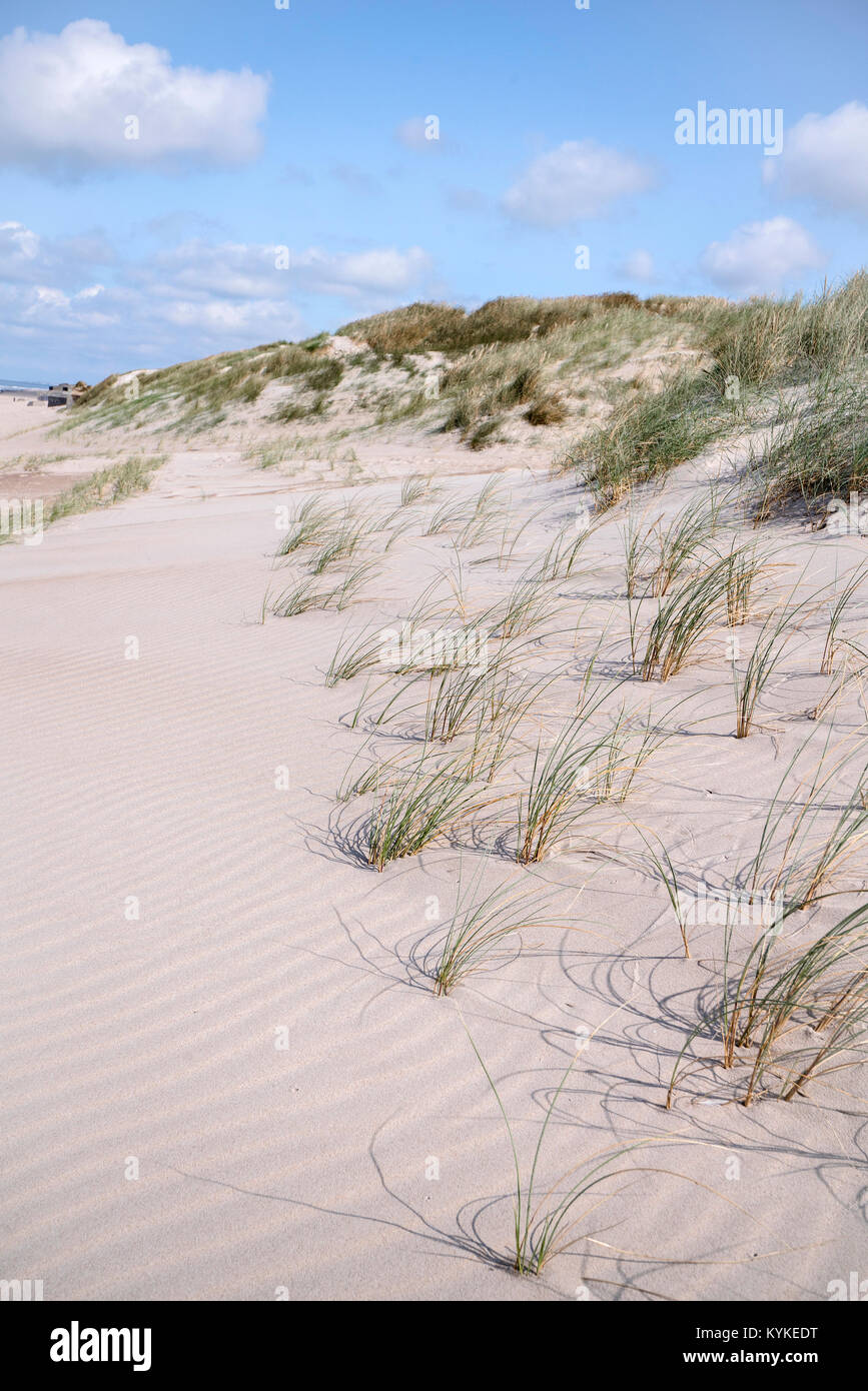 Lyme grass on a Scandinavian beach with sand dunes in the summer under a blue sky - Stock Image