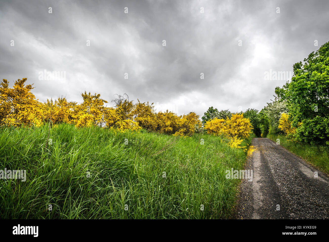 Yellow brrom bushes by a roadside in cloudy weather looking very vibrant in golden colors - Stock Image