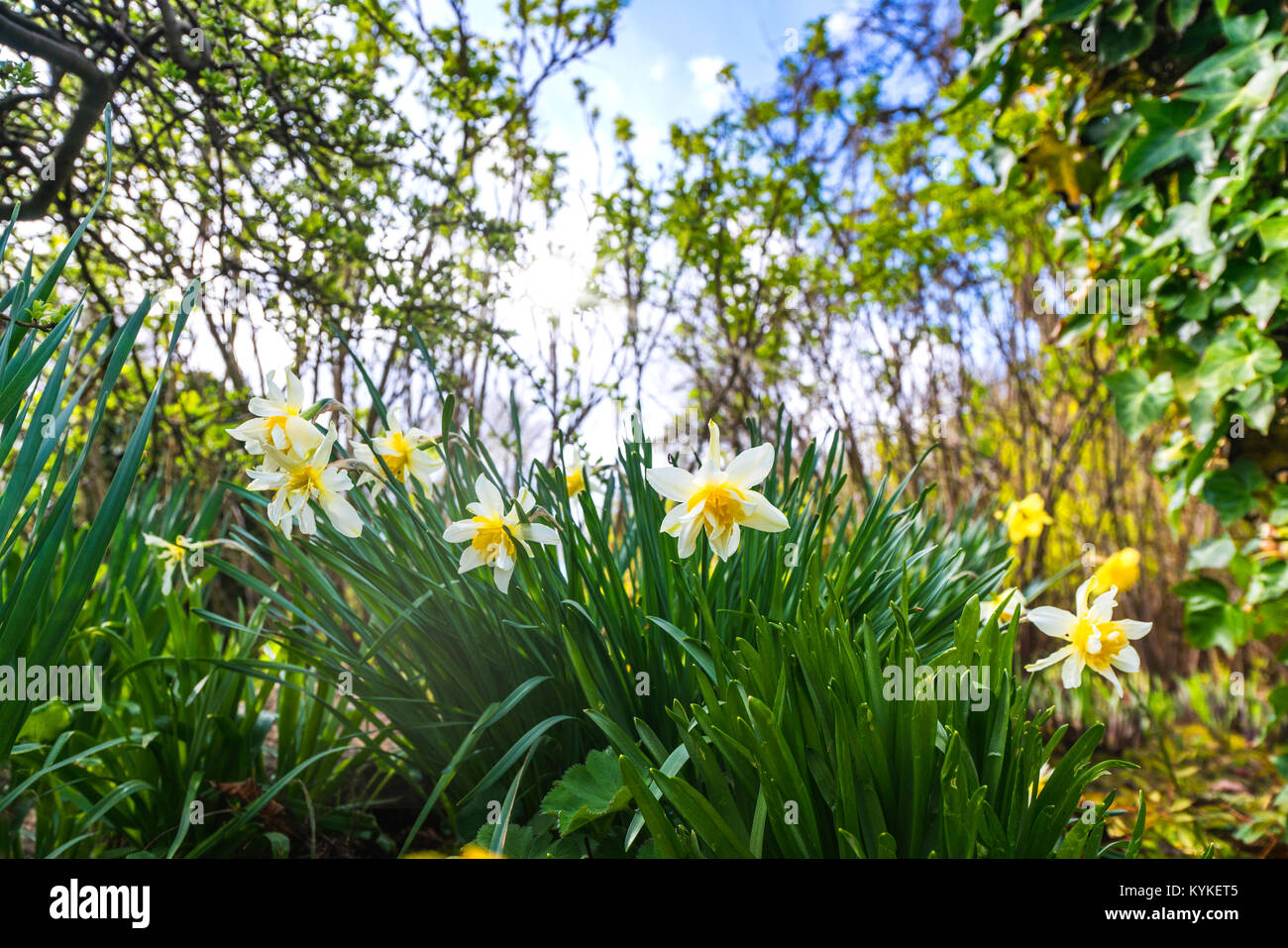 Daffodil flowers in white colors in a green garden in the spring - Stock Image