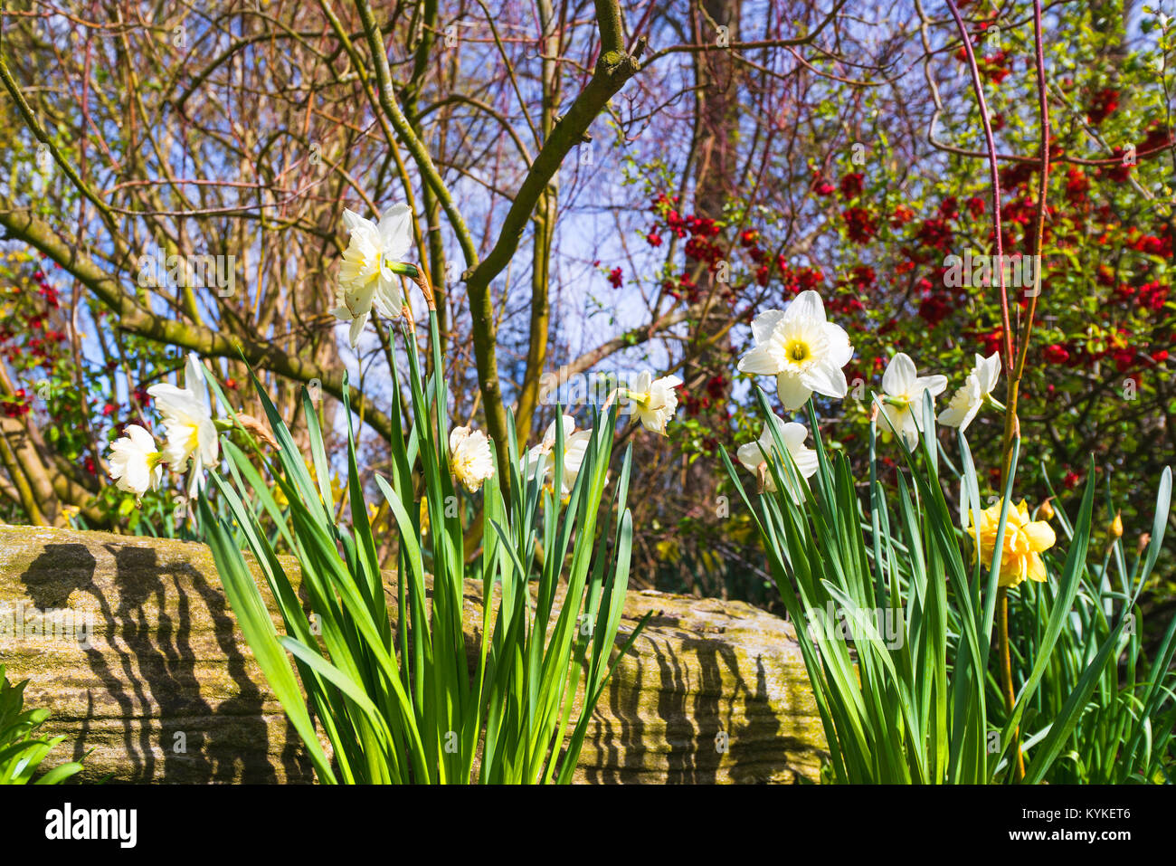 White daffodil flowers in a garden in the spring with sunlight and blooming bushes - Stock Image