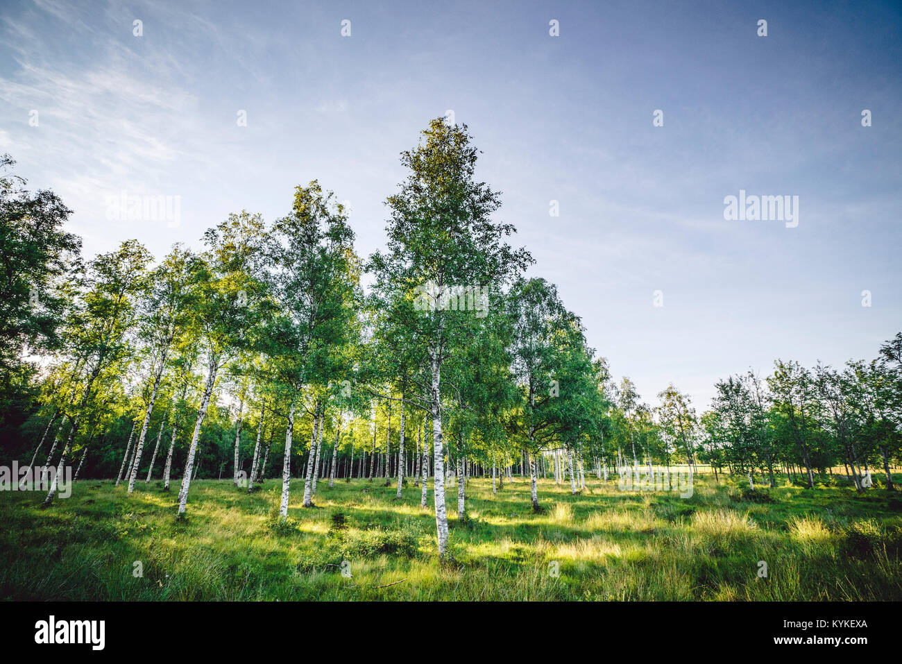 Birch trees on a green field in the spring in tall grass in the sunlight - Stock Image