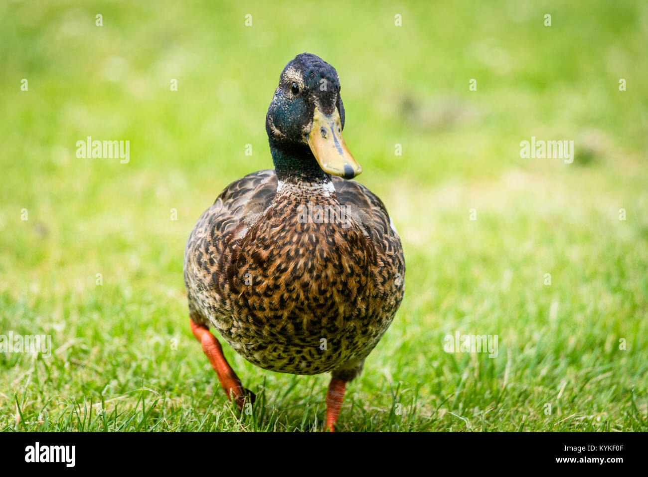 Big duck with brown chest walking on green grass in the springtime - Stock Image