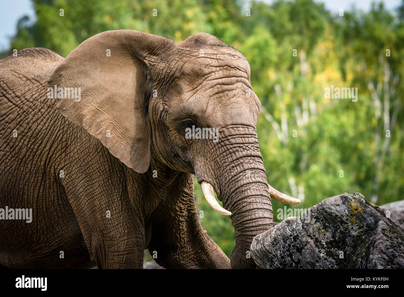 Elephant playing with a rock trying to lift it with the trunk - Stock Image