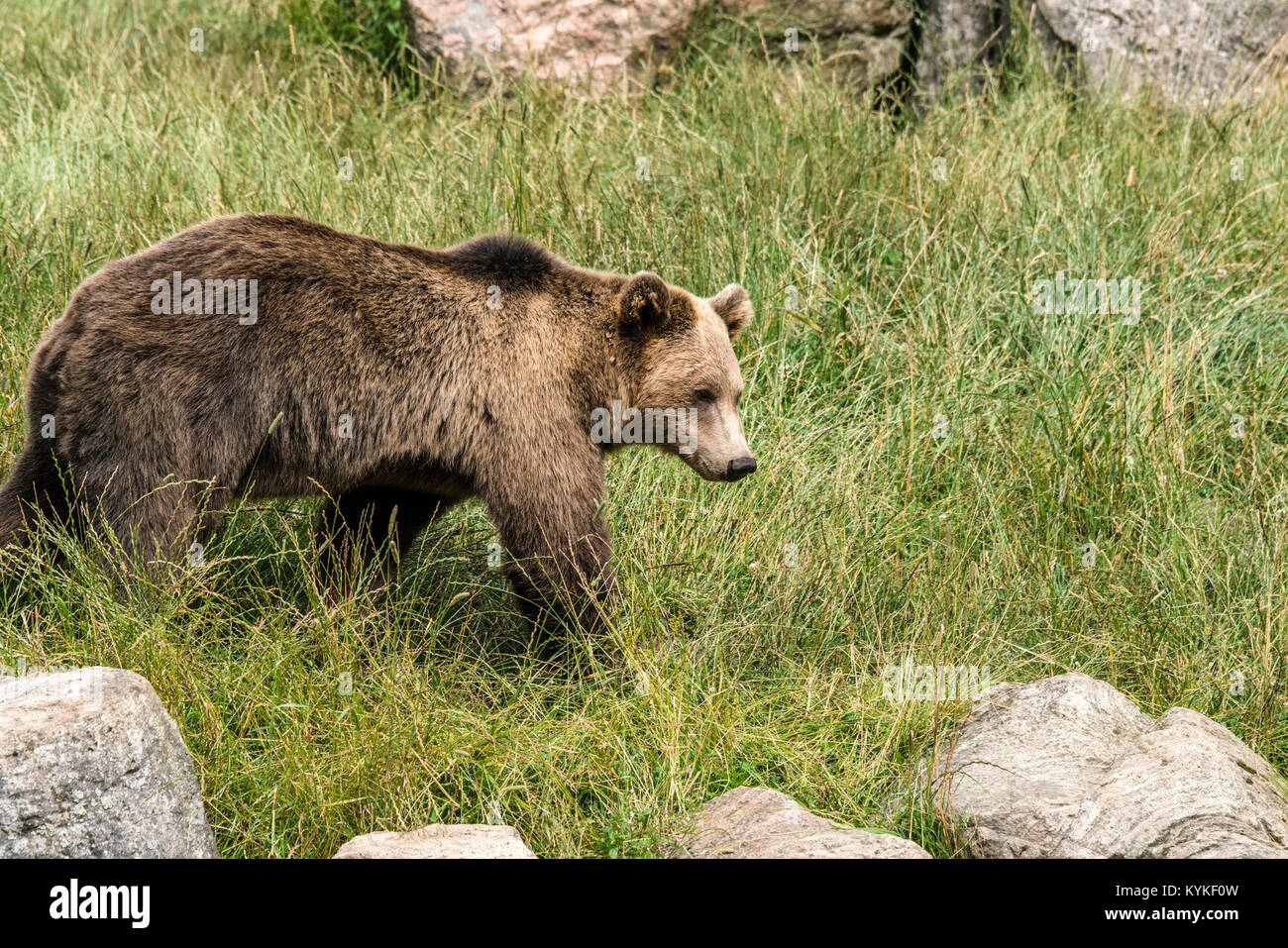 Brown bear on a green meadow in the spring with large rocks and tall grass - Stock Image