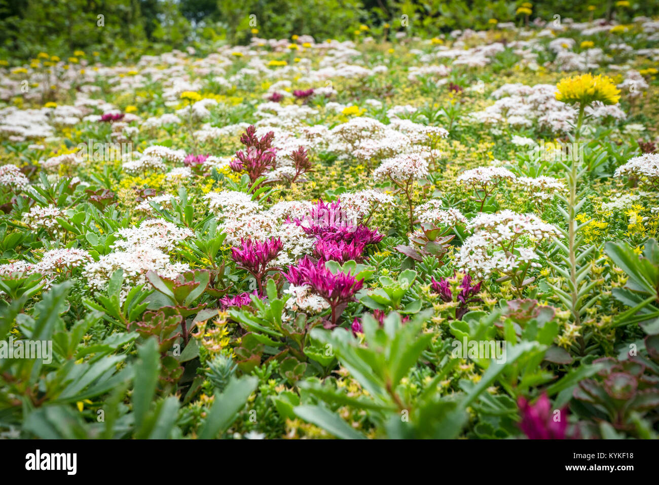 Various flowers on a meadow in beautiful colors in the summertime - Stock Image