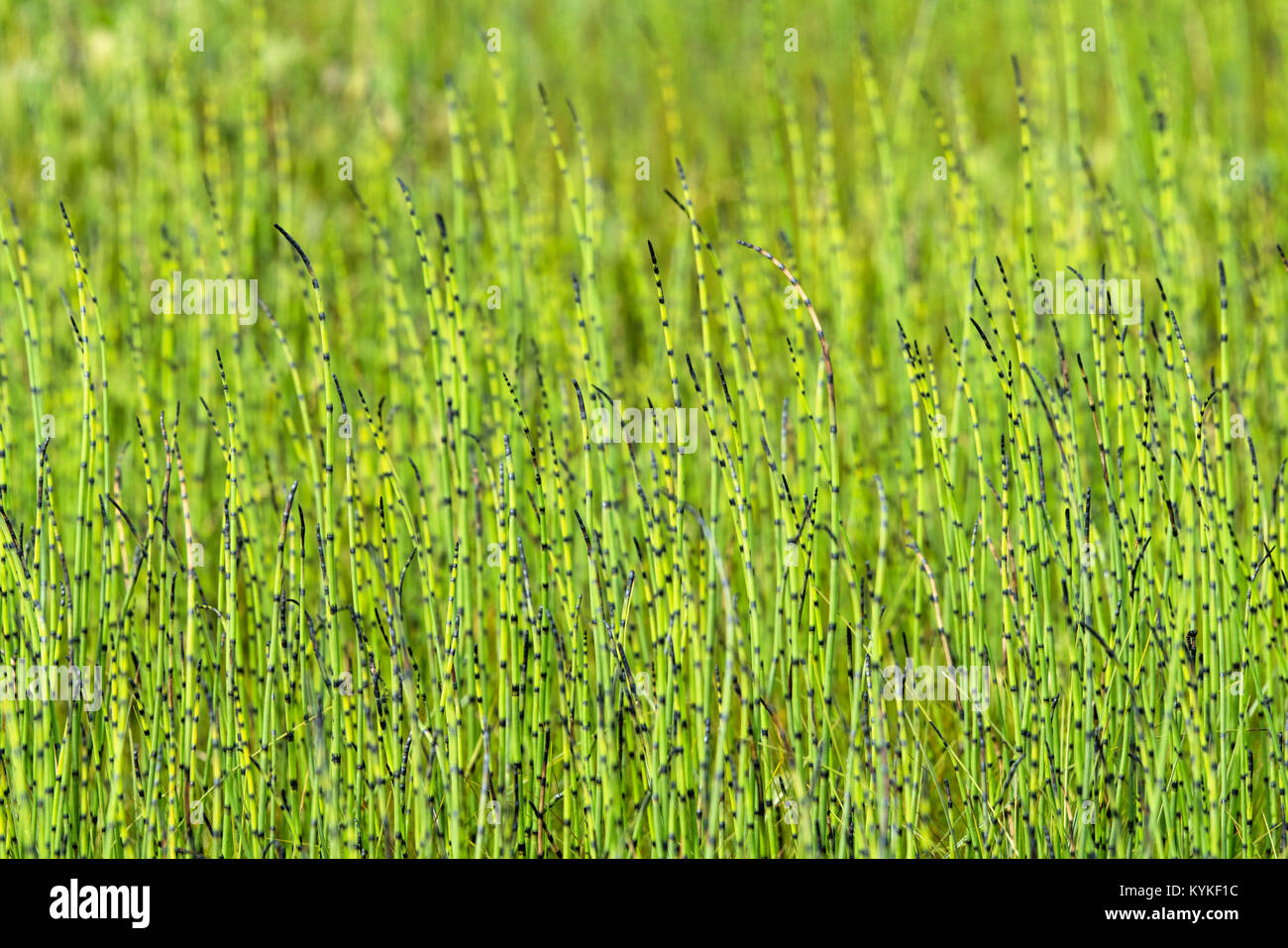 Horsetail plants side by side on a meadow in the summer in fresh green colors - Stock Image