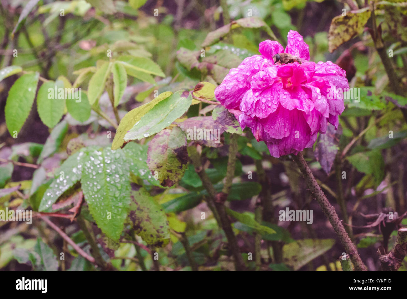 Purple flower with a wasp in a garden after the rain with droplets on the leaves - Stock Image