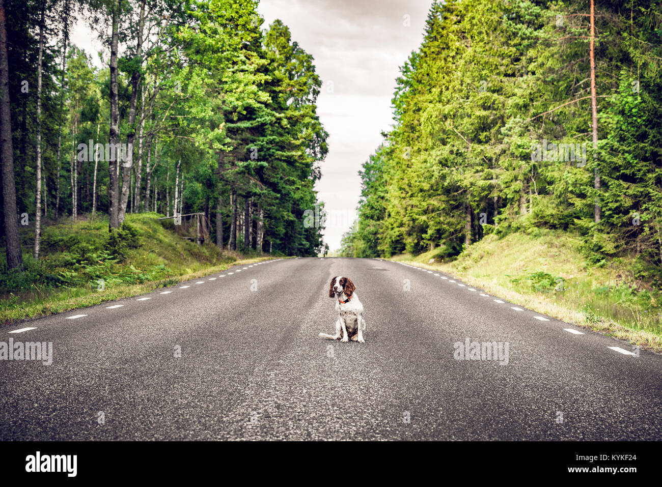 Dog sitting in the middle of the road in a forest highway surrounded by tall trees - Stock Image