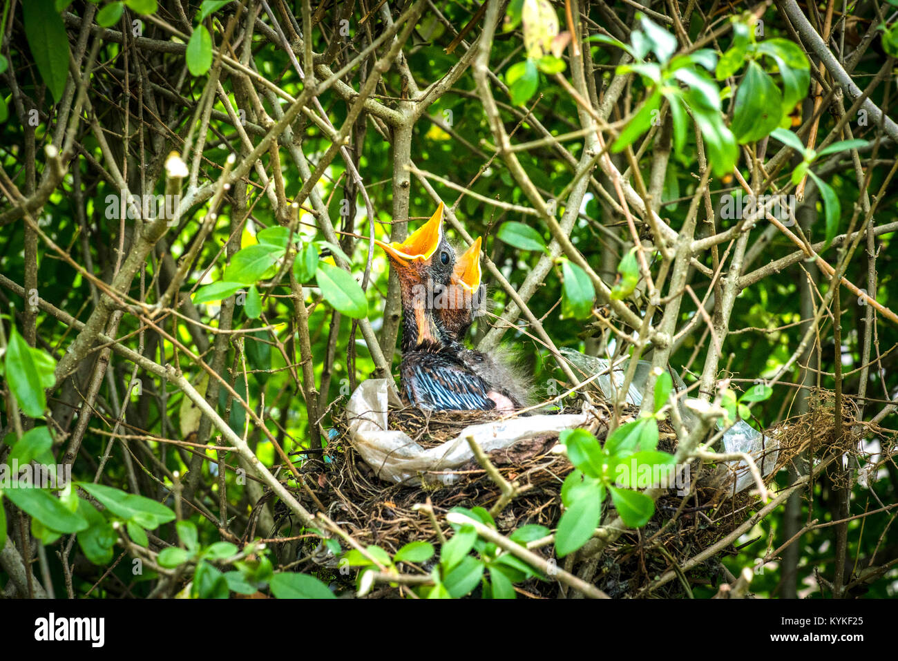 Blackbird youngsters waiting for thier mother to bring food in the nest in the spring with open beaks - Stock Image