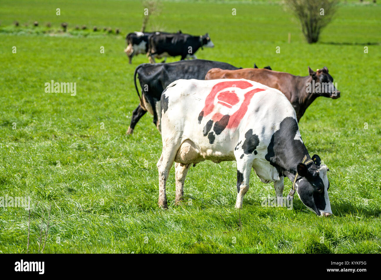 Holstein Frieser cow with the danish ecology stamp in red on the fur in the spring - Stock Image