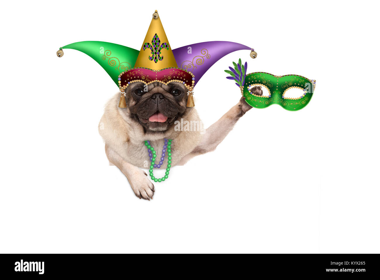 Mardi gras pug puppy dog with carnival harlequin hat and venetian mask hanging on blank banner, isolated on white - Stock Image