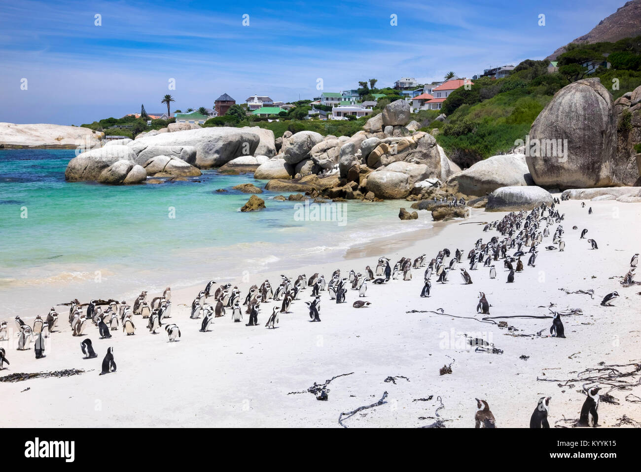 Boulders Bay Penguin Colony of African Jackass penguins at Boulders Beach, Cape Province, South Africa - Stock Image