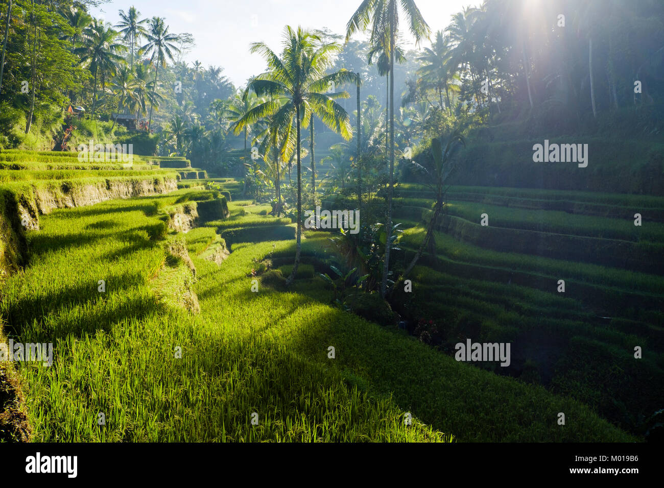 The Tegallalang rice terraces near Ubud, Bali, Indonesia. - Stock Image