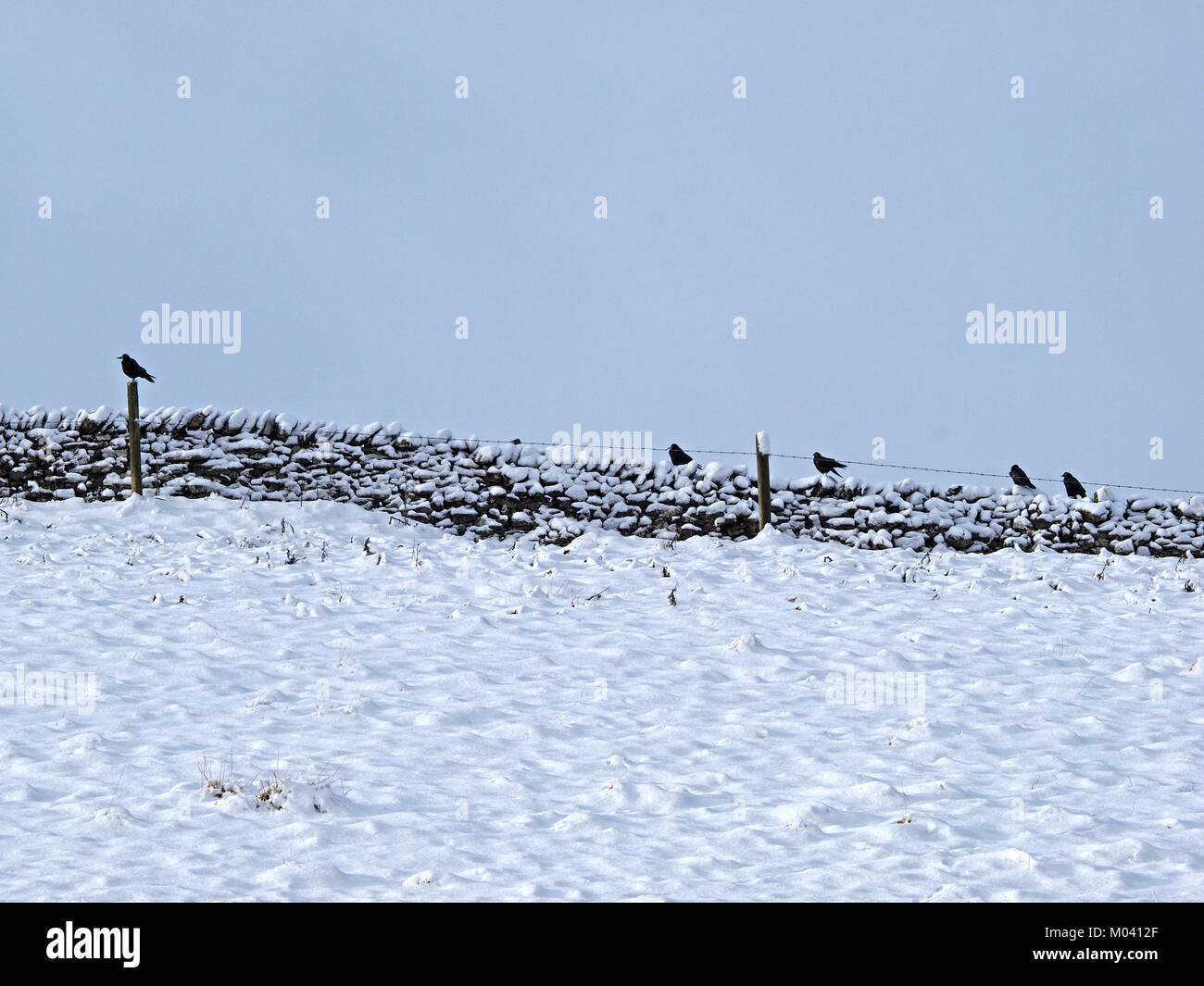 Crosby Ravensworth, Eden Valley, Cumbria, UK. 18th January, 2018. Rooks line fenceposts along a stone wall on the - Stock Image