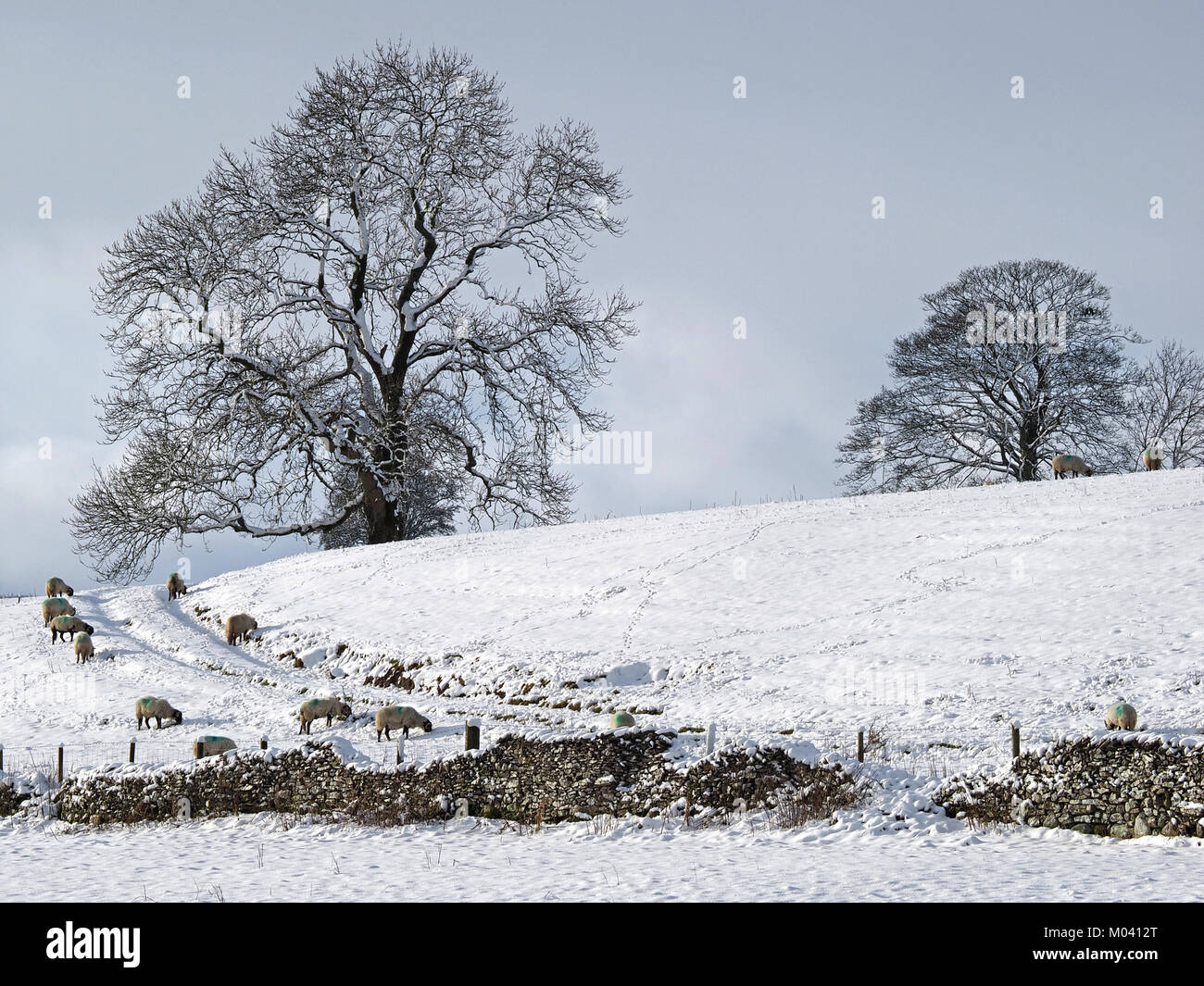 Crosby Ravensworth, Eden Valley, Cumbria, UK. 18th January, 2018. a flock of sheep struggles to find grazing beneath - Stock Image