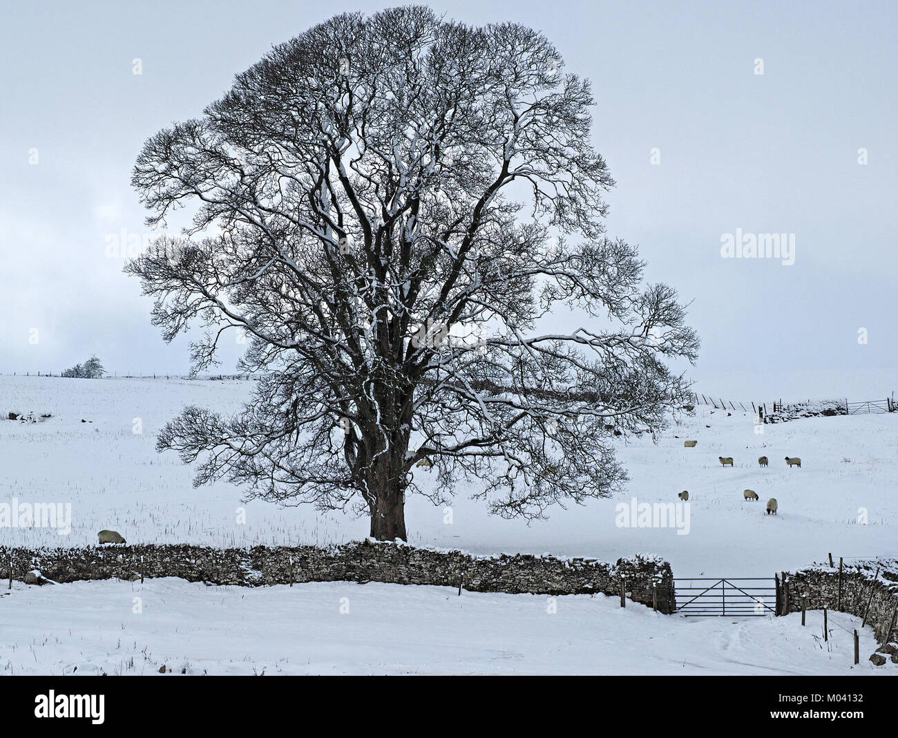 Crosby Ravensworth, Eden Valley, Cumbria, UK. 18th January, 2018. flock of sheep struggles to find grazing beneath - Stock Image