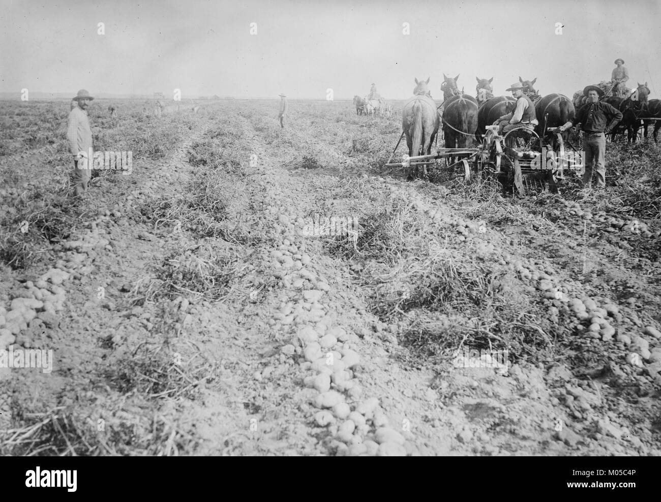 Harvesting in Potato field, Colorado - Stock Image