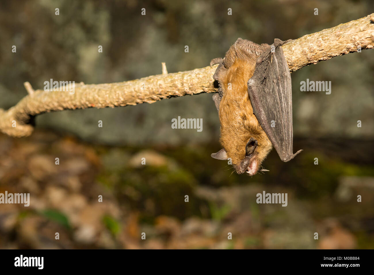 A Big Brown Bat hanging from a vine just outside the cave entrance. - Stock Image