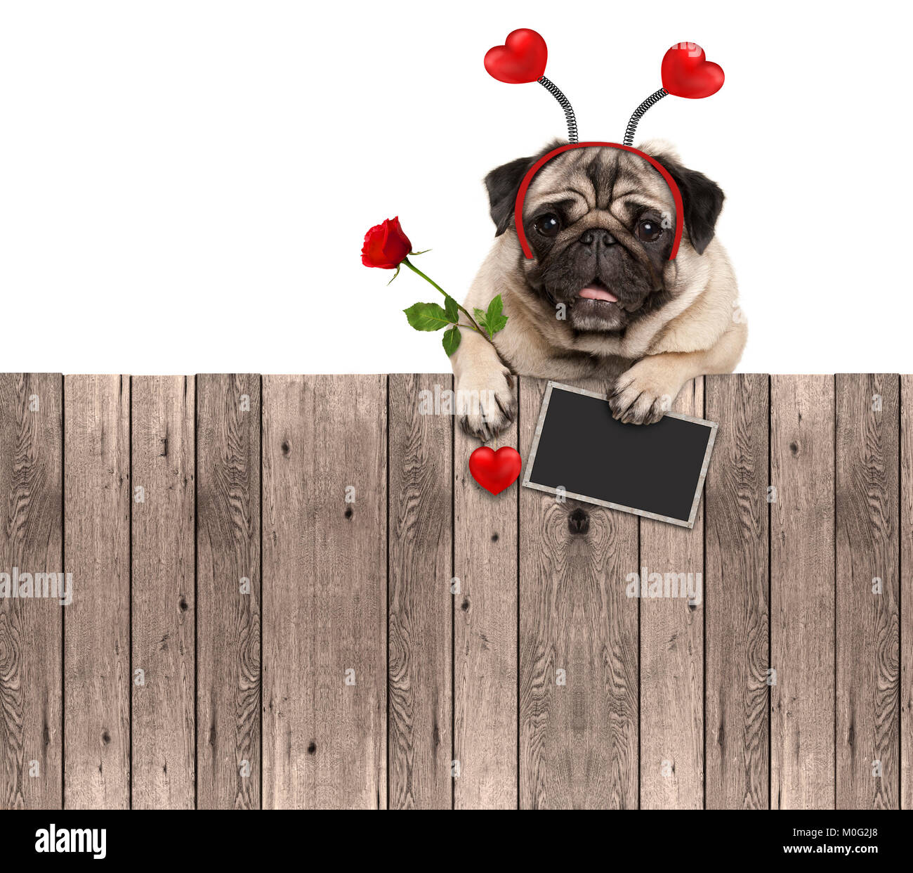 lovely pug dog with hearts diadem, blackboard and rose, hanging on wooden fence, isolated on white background - Stock Image