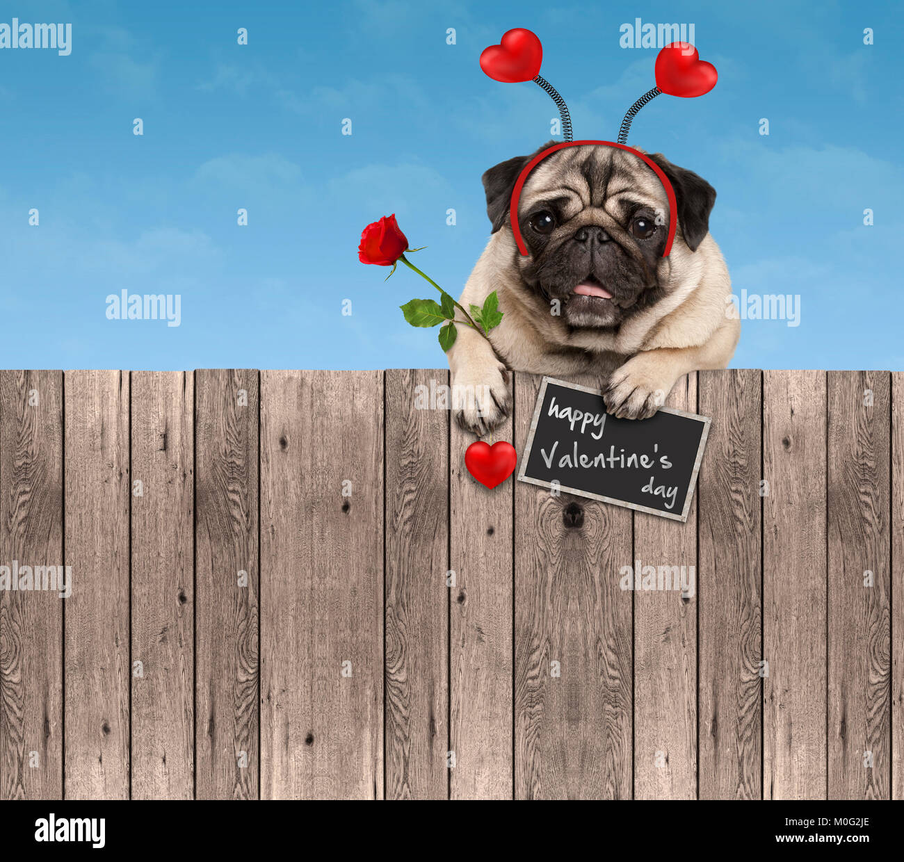 Valentines day pug dog with hearts diadem and rose, hanging on wooden fence, isolated on blue sky  background - Stock Image