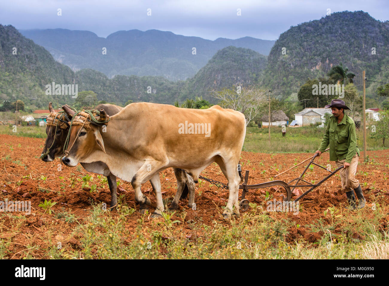 Plowing tobacco fields in Vinales Valley, Cuba - Stock Image