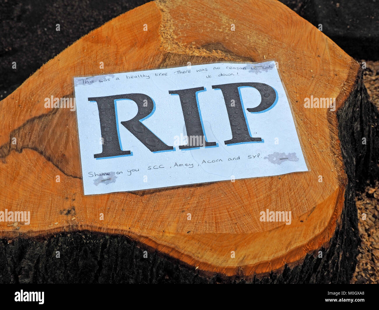 Sheffield, West Yorkshire, England. 22nd Jan, 2018. A sign stapled to the sawn off stump of one of many healthy - Stock Image