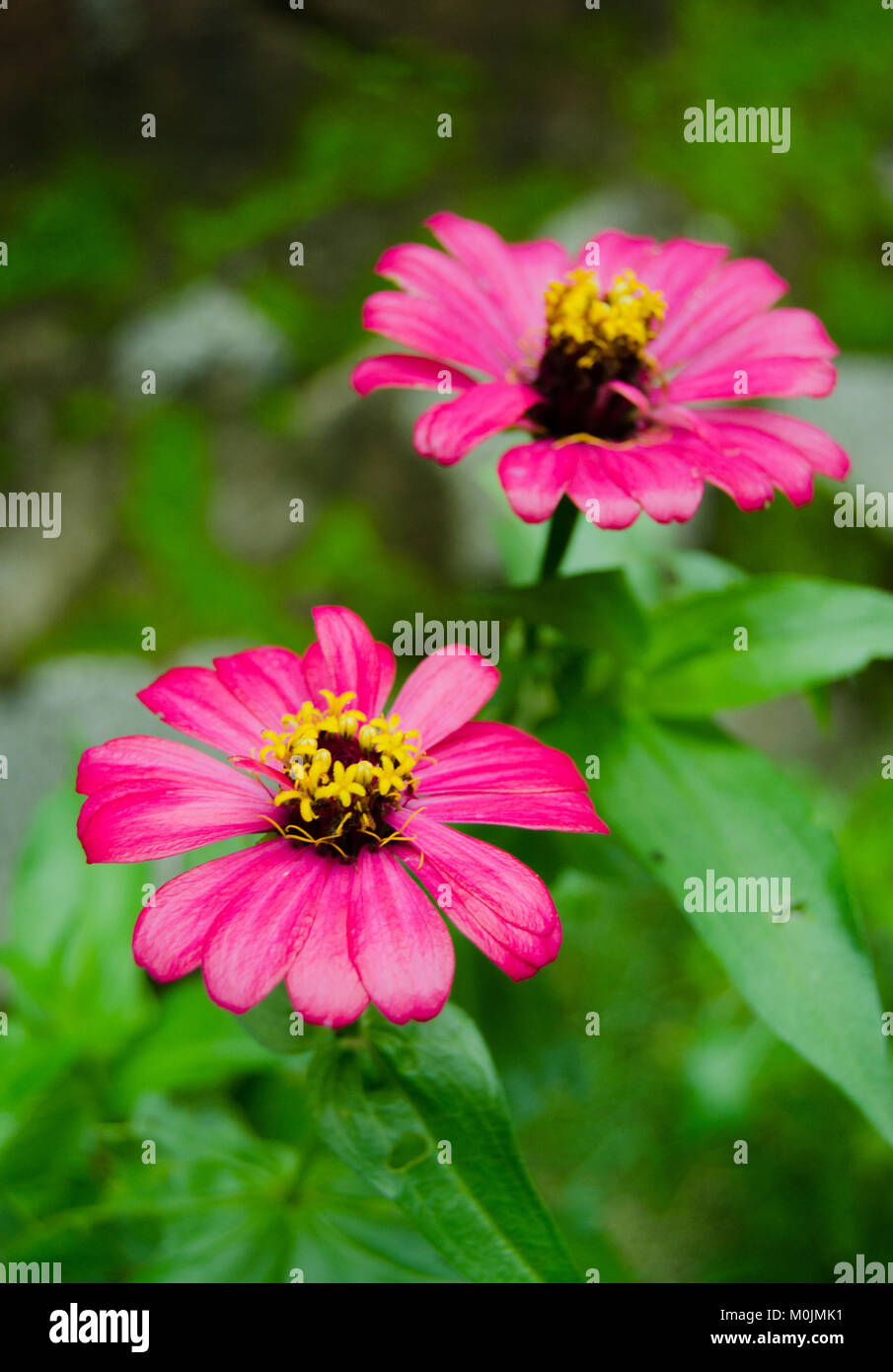 Pink summer flower - Stock Image