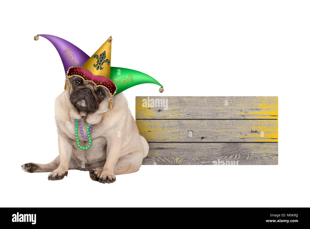 cute Mardi gras pug puppy dog sitting down with harlequin jester hat, next to wooden board, isolated on white background - Stock Image