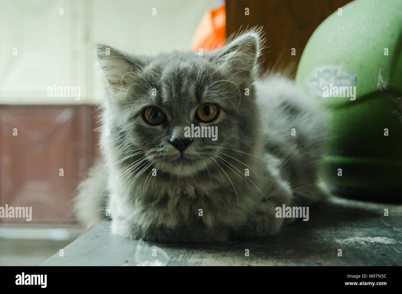 Gray cute cat that cold by rain and sitting on the table - Stock Image