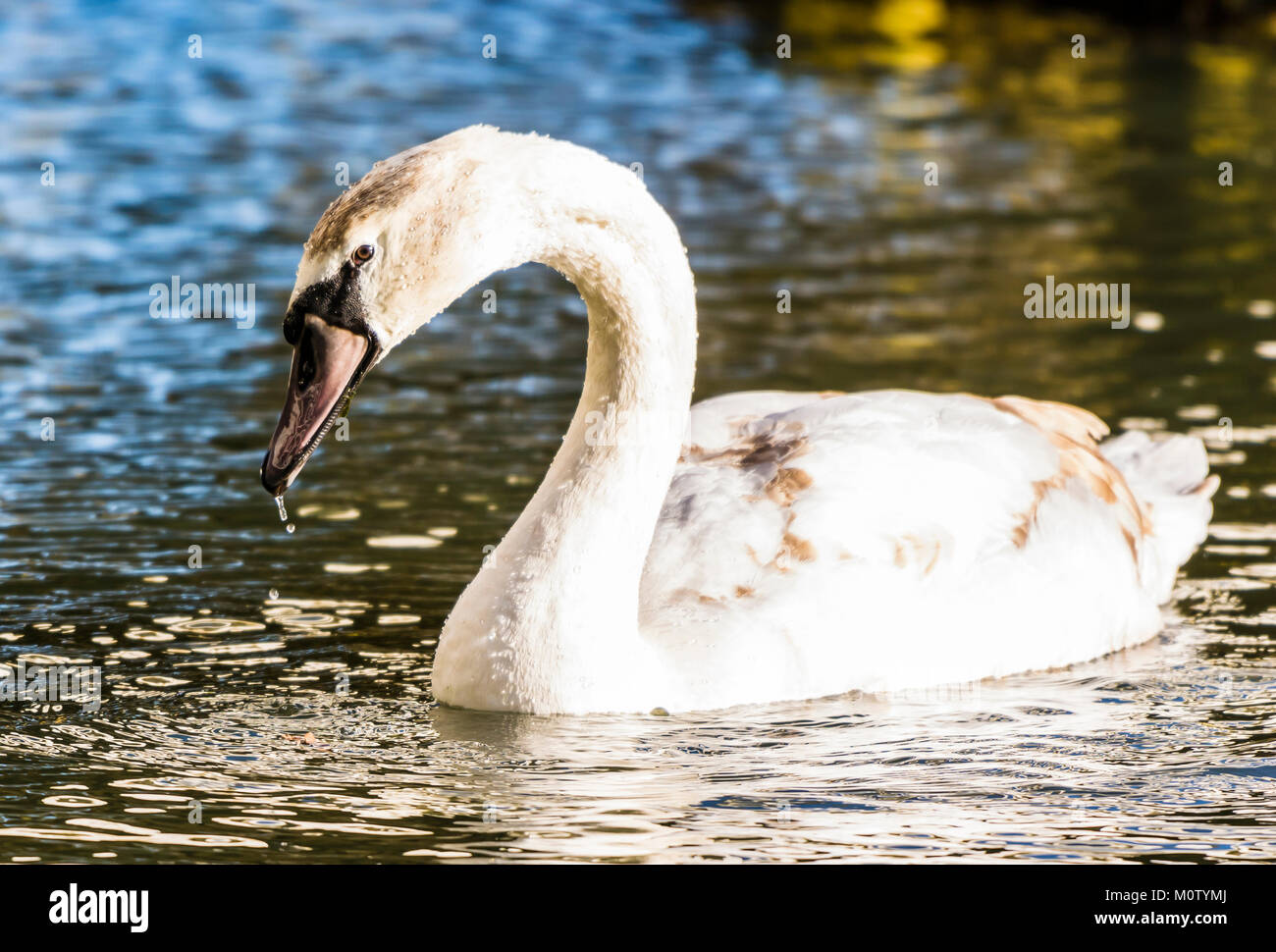 Mute Swan on the Octagon Lake, Stowe, Buckinghamshire, UK - Stock Image