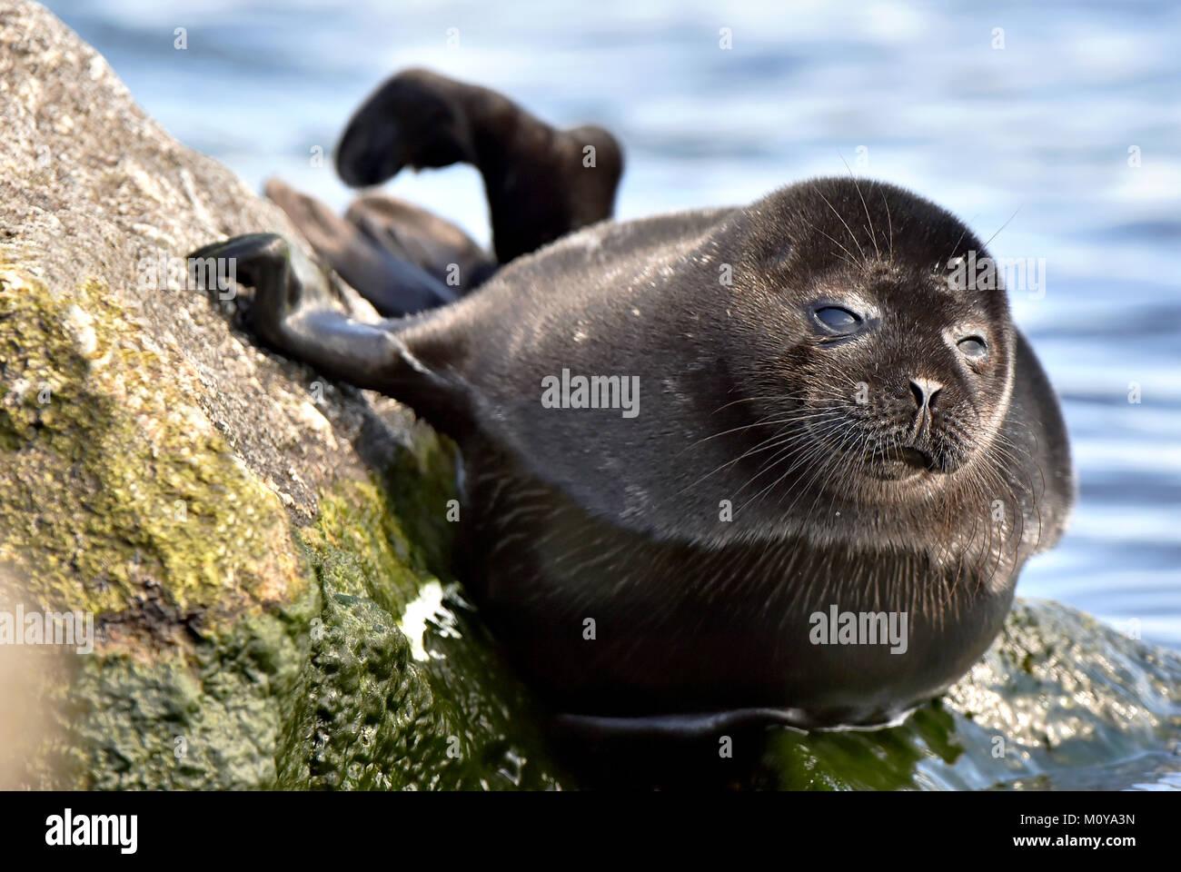Ladoga ringed seal ( Pusa hispida ladogensis) close up. The Ladoga seal in a native habitat. Ladoga Lake. Russia - Stock Image