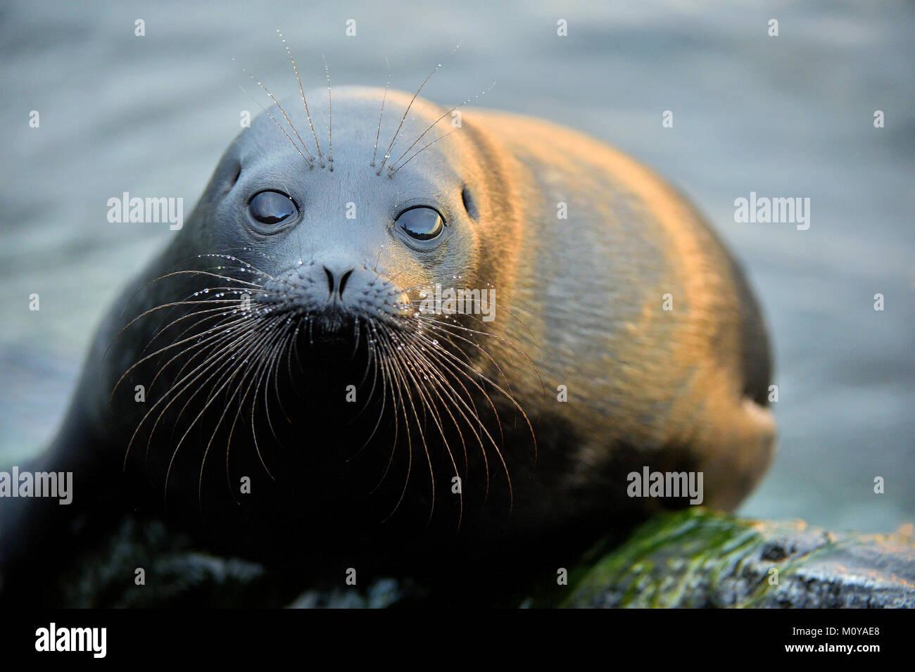 The Ladoga ringed seal ( Pusa hispida ladogensis) close up. The Ladoga seal in a native habitat - Stock Image