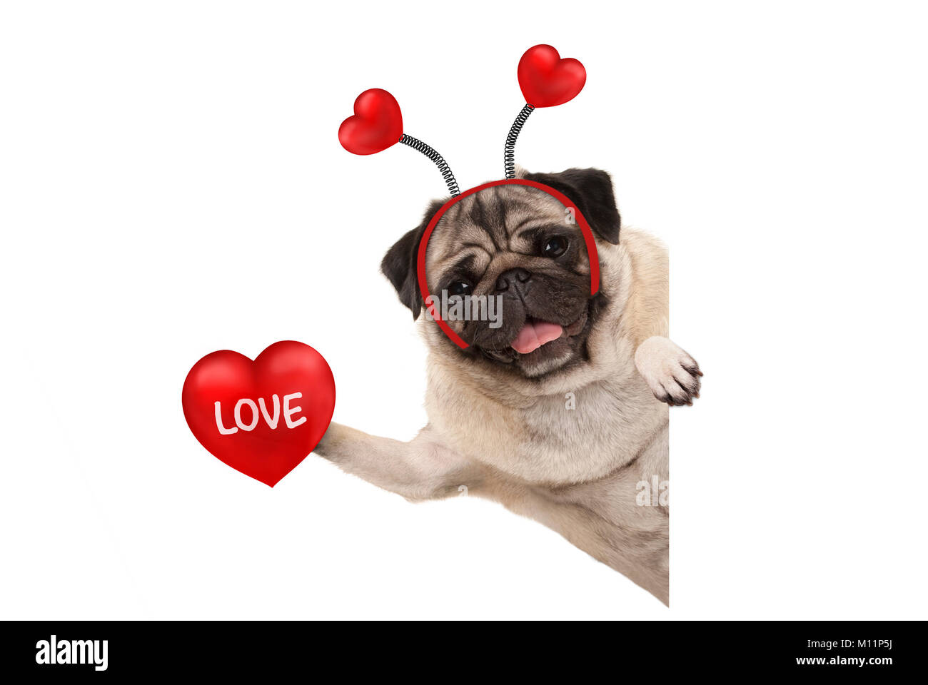 smiling Valentine's day pug dog holding up red heart with text love, isolated on white background - Stock Image