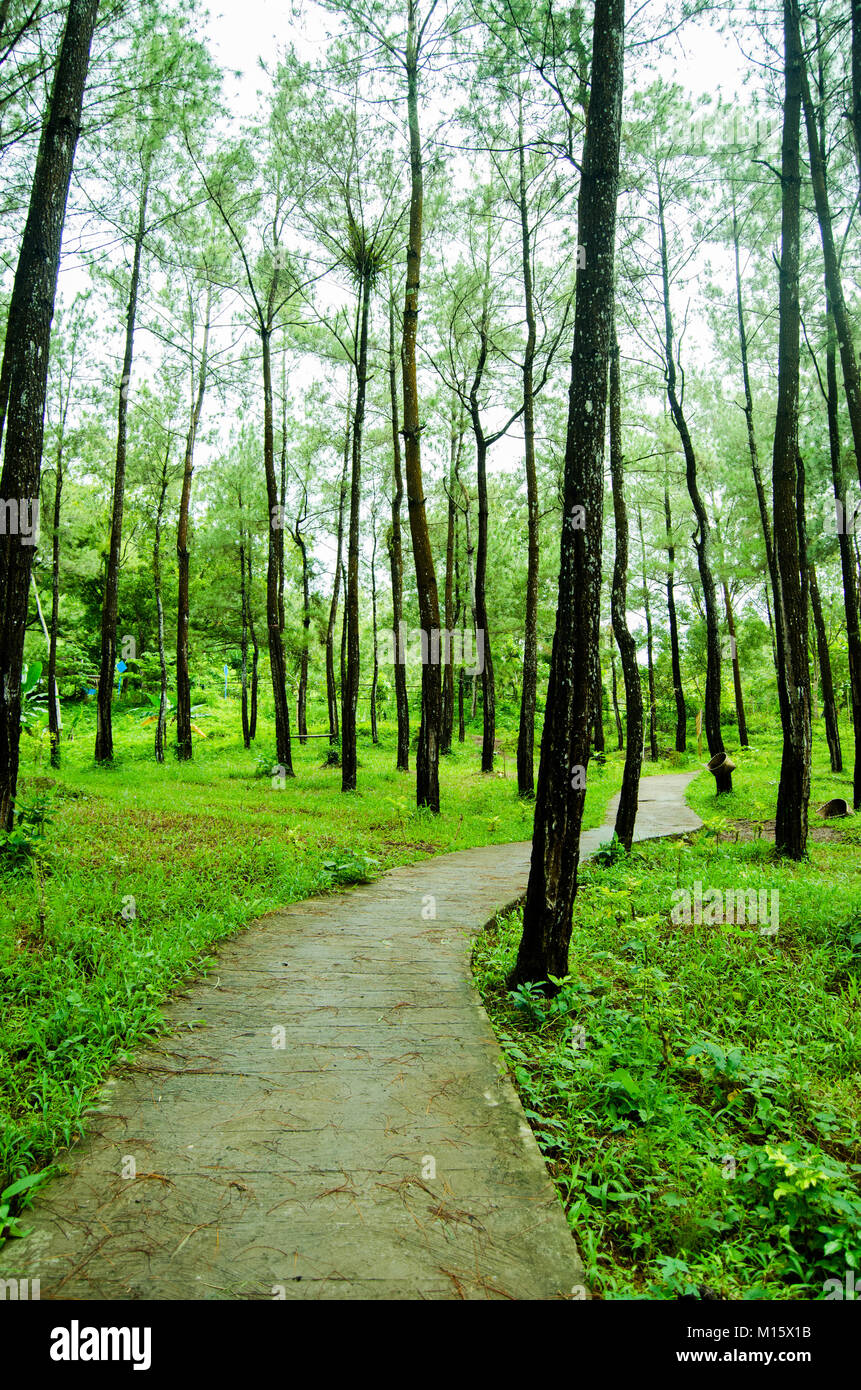 Path in the middle of pine forest putri maron park - Stock Image