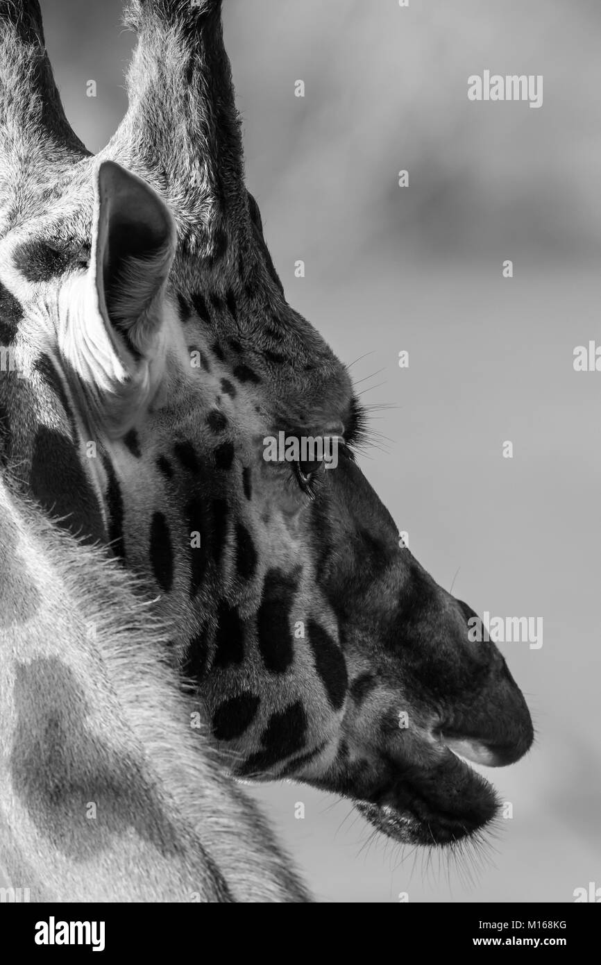 Tight close up of single giraffe head artistic black white portrait head study very detailed sunlit gentle giant side on capture from the rear