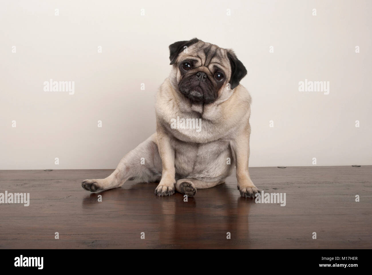 sweet funny pug puppy dog sitting down on wooden ground, on plain background - Stock Image