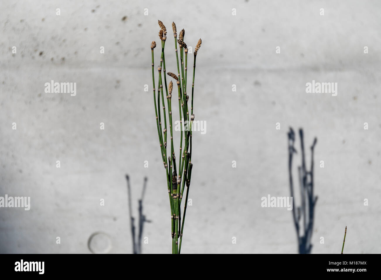 Rough horsetail (Equisetum hyemale) on concrete background; Suginami, Tokyo Stock Photo