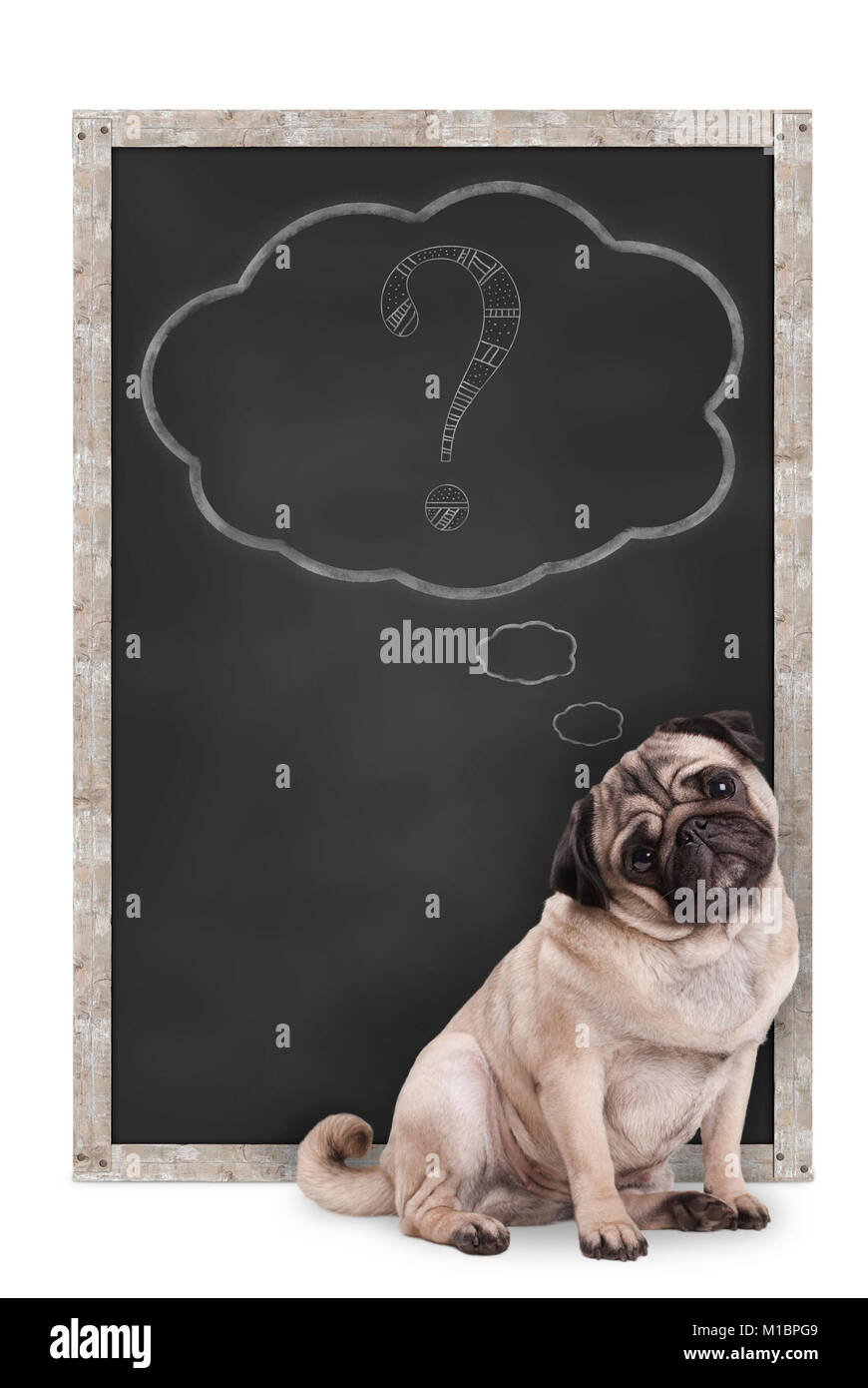 sweet smart pug puppy dog sitting in front of  blackboard with chalk question mark in thought bubble, isolated on - Stock Image