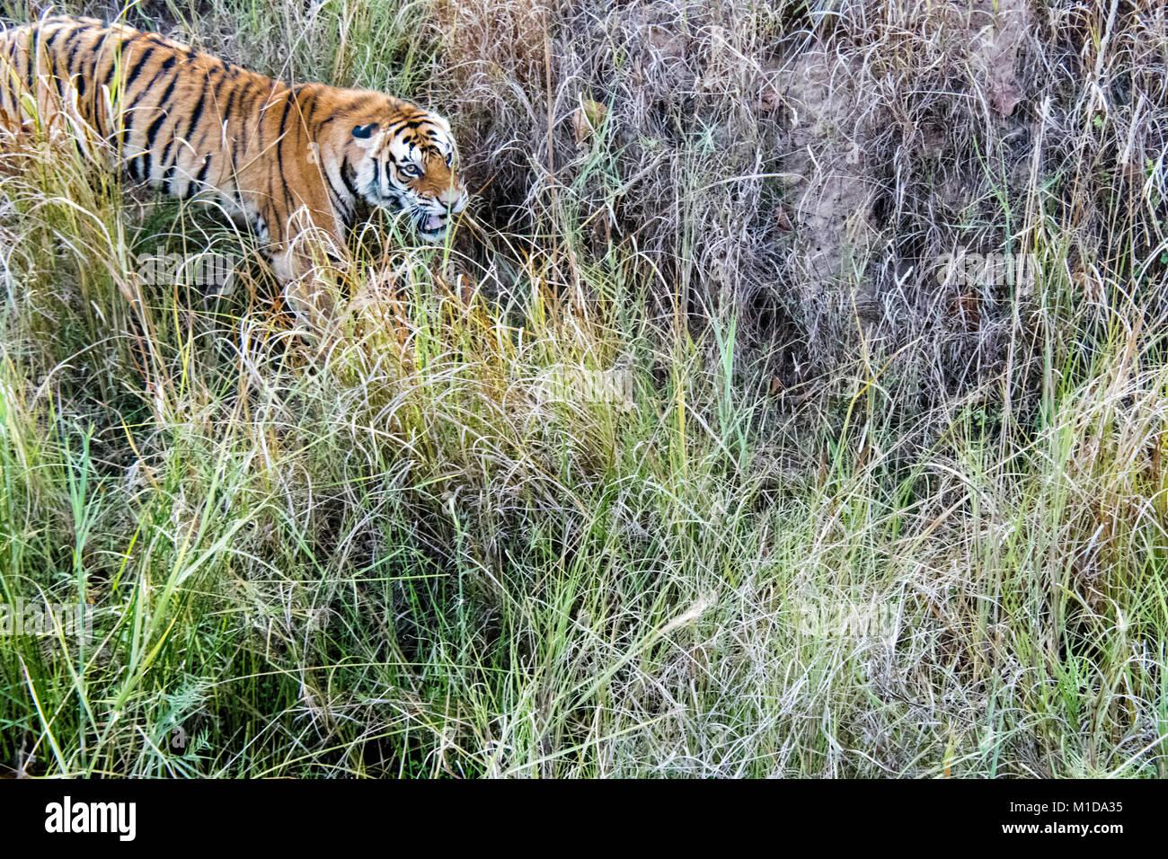 Wild Bengal Tiger, Panthera tigris tigris, snarling, attacking in Bandhavgarh Tiger Reserve, Madhya Pradesh, India - Stock Image