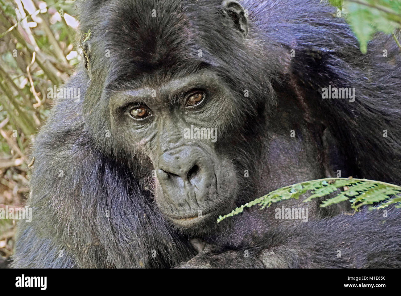 Silverback mountain gorilla in Bwindi Impenerable National Park, Uganda. - Stock Image