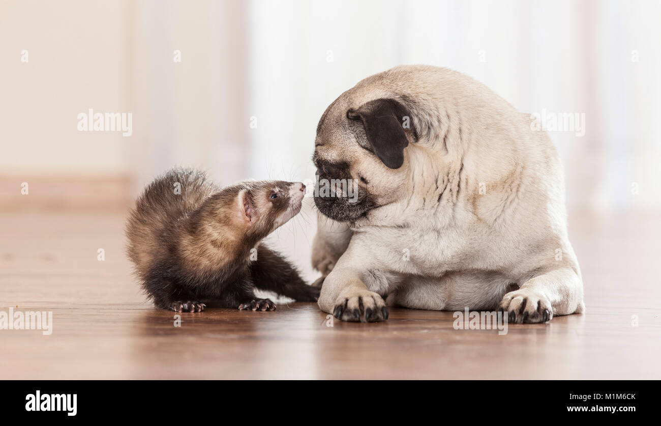 Animal friendship: Ferret sniffing at with pug puppy. Germany - Stock Image