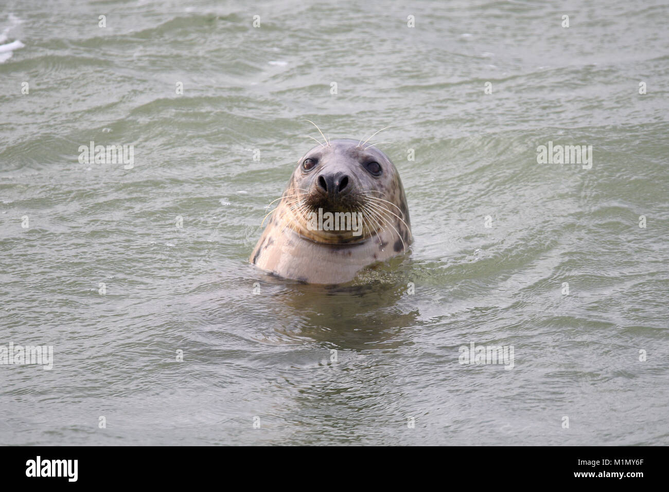 grey-seal-halichoerus-grypus-in-the-thames-estuary-at-southend-on-M1MY6F.jpg