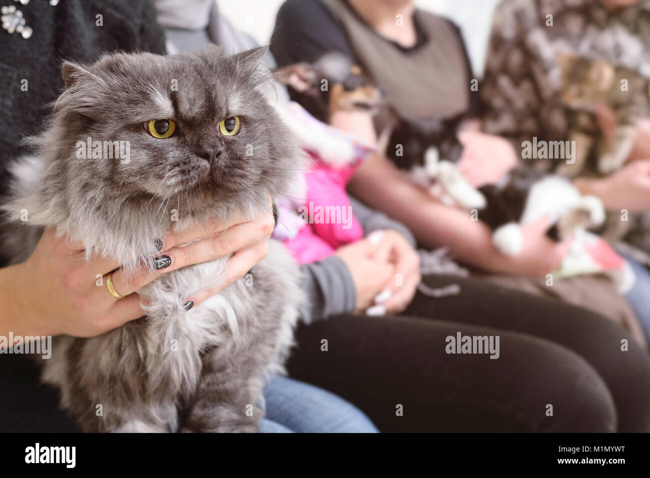 Persian cat  in the hands of the owner in the queue for examination in the veterinary clinic - Stock Image