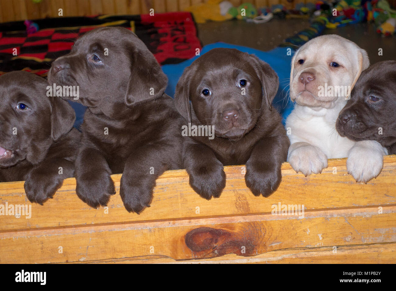 five-cute-six-week-old-labrador-puppies-looking-over-a-wall-M1PB2Y.jpg