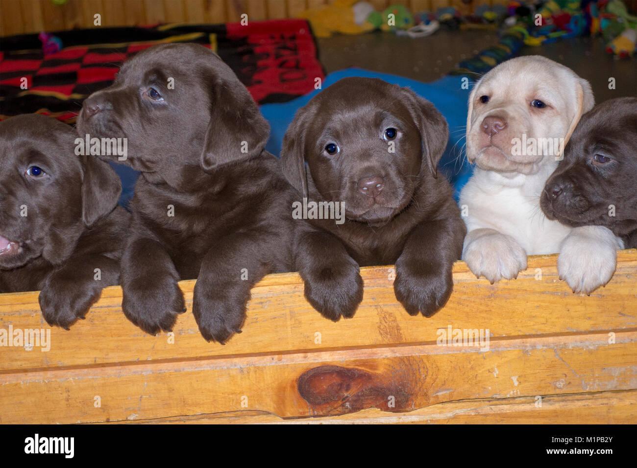 five-cute-six-week-old-labrador-puppies-