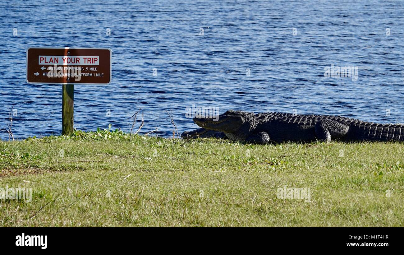 alligators-a-mississippienses-basking-in